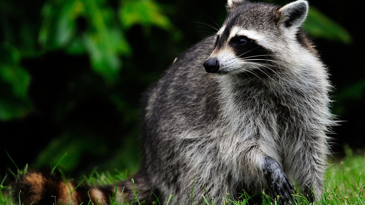 Raccoon Breaks Into Substation, Causes Power Outage in Most