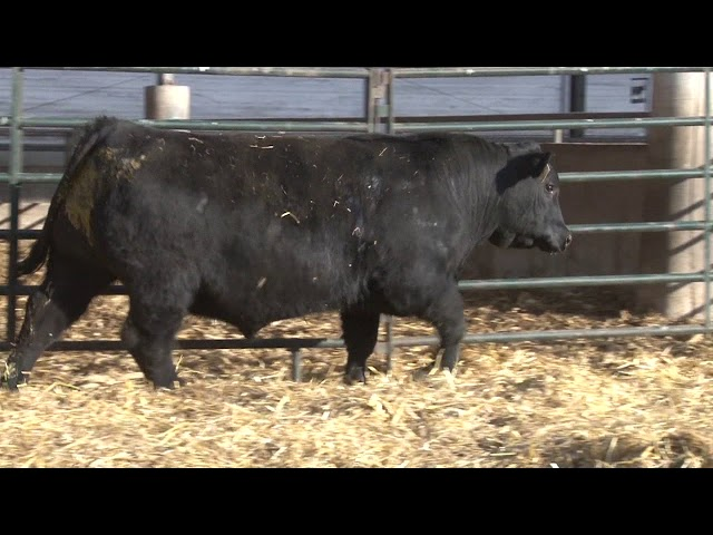 Schiefelbein Angus Farms Lot 135