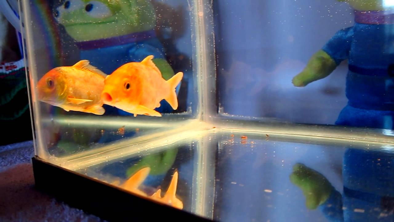 Orange koi fish in 10 gallon tank youtube for 10 gallon koi tank