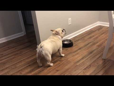 Angry French Bulldog on Diet Throws Tantrums for Not Getting Food - 1065754