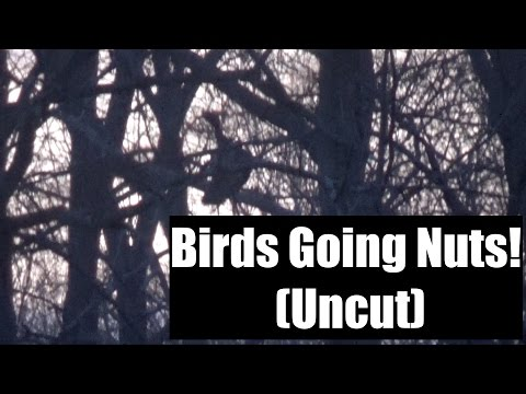 Turkey Calls - Natural Turkey Hen Cuts and Yelps