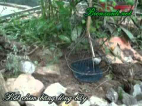 Cach bat chim bang long bay  bienxanh net 1