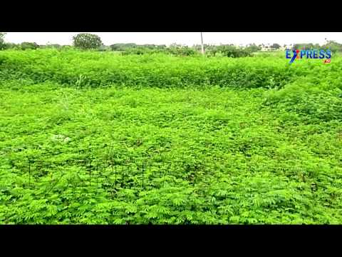 New Green Grass Varieties of Hybrid Napier Bajra and Its Cultivation Practices - Express TV