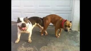 Bully Pitbull Breeding LBK