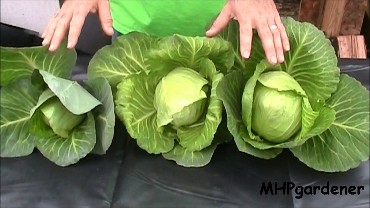 Hydroponic Cabbage Yes You Can Youtube