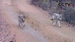 内蒙古:红外相机拍到野生狼群  《中国新闻》CCTV中文国际 - YouTube