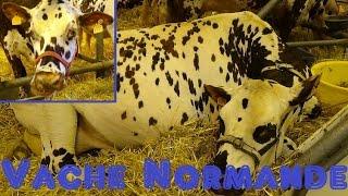 Vache Normande - Bos taurus - Linnaeus, 1758 - Salon de l'Agriculture 2015 - 03/2015