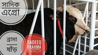 007 | Exclusive | Brahma Bulls Lineup | New Sadeeq Brahma Ranch | Sadeeq Agro | ZbGH 2019