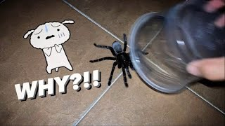 When the BIGGEST, most Aggressive TARANTULA escapes ..