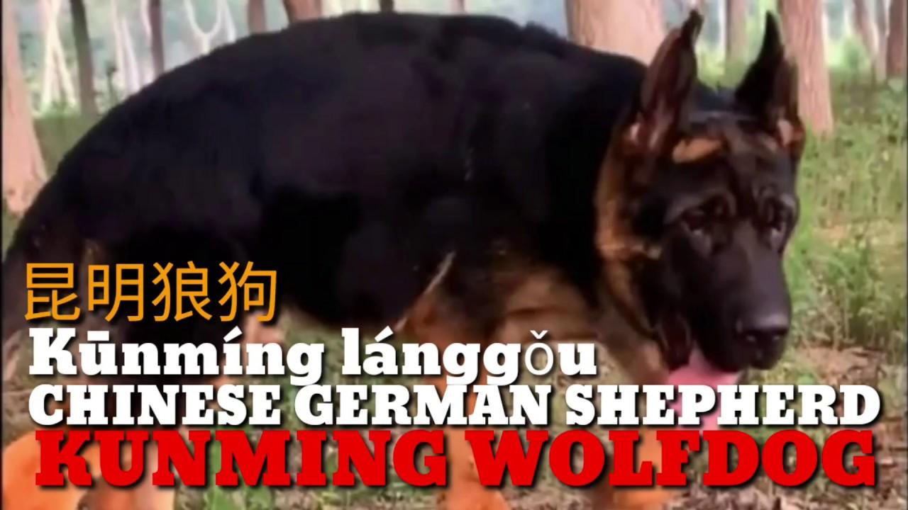 Kunming Wolfdog The Chinese German Shepherds Chinese Wolfdog Kunming Dog Youtube Saarloos wolfdog czechoslovakian wolfdog kunming wolfdog tamaskan dog utonagan, thickets png clipart. kunming wolfdog the chinese german shepherds chinese wolfdog kunming dog