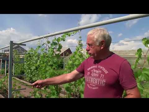 Виноградарство на Южном Урале