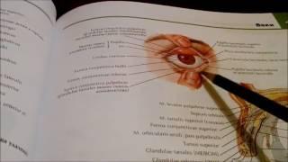 видео Анатомия глаза человека: оболочки и структуры