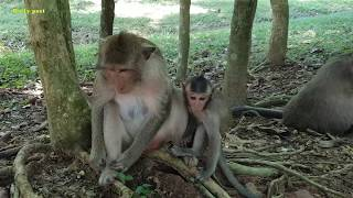Aw, Milta monkey fights baby Milto for begging milk, Milto crying & fighting hard for milk