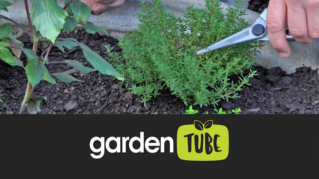 Download How to grow and care for thyme plants
