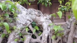 ÔNG CHỦ XƯỞNG MỘC,SỞ HỮU CÂY SANH DỰ TRIỂN LÃM 100 NĂM THĂNG LONG,vườn cây chú Hùng Đan phượng