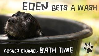 Cute Cocker Spaniel In The Bath - Eden Gets A Wash