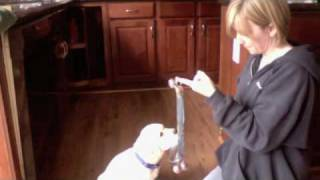 Teaching a dog to ring a bell to go potty Part 1