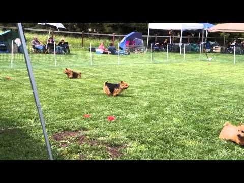 Norwich Terrier fun day