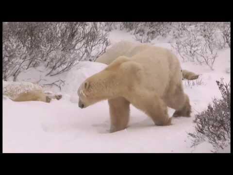 Eisbären in Kanada - Churchill, Manitoba