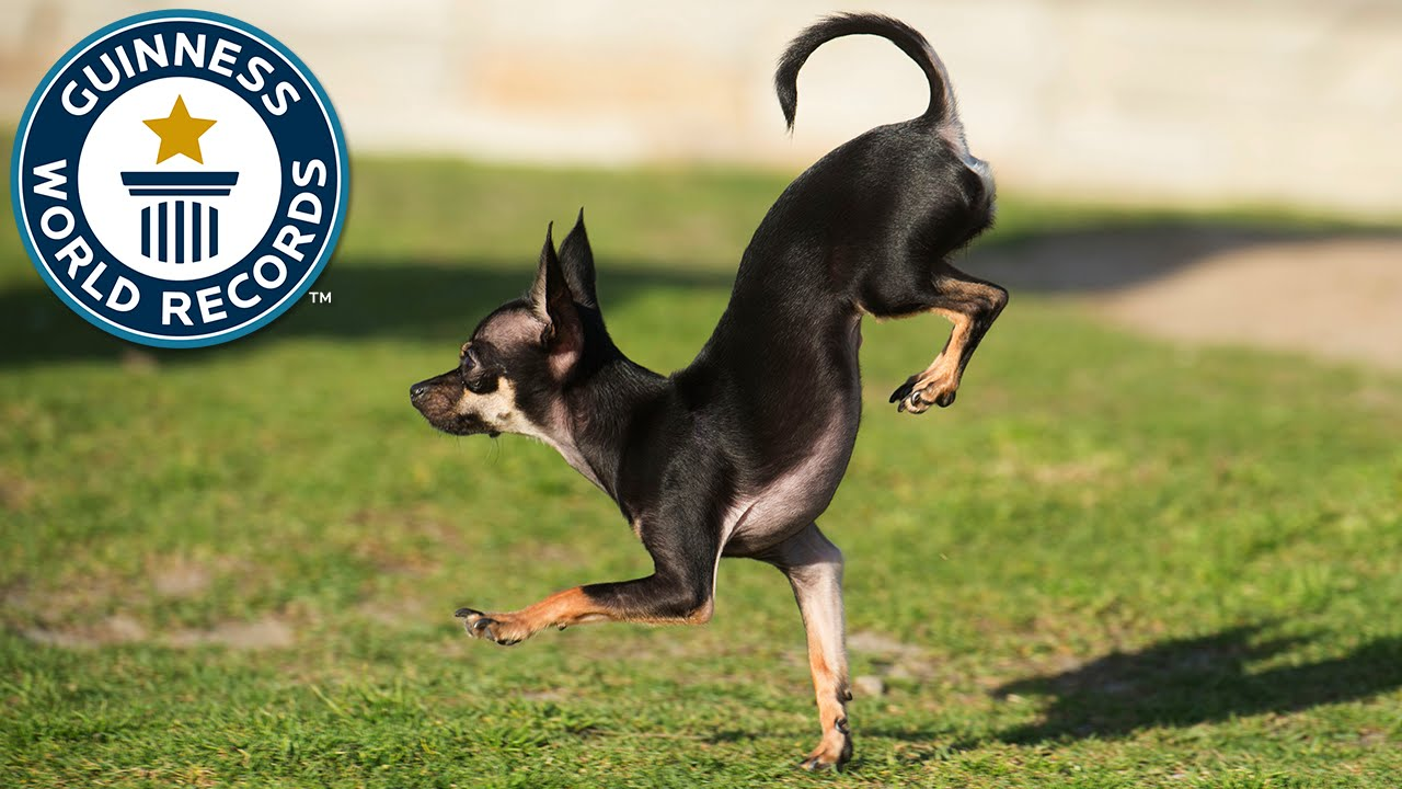 Cutest Dog In The World Guinness 2016 konjo, the new fastest dog on two paws - guinness world records