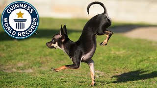 Konjo, the new fastest dog on two paws - Guinness World Records