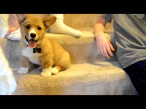 Corgi puppy goes down the stairs