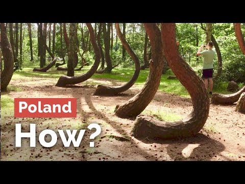 But How?.... Insane Crooked Forest in Poland