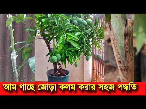 আম গাছে জোড় কলম করার পদ্ধতি | Mango tree grafting and bonsai