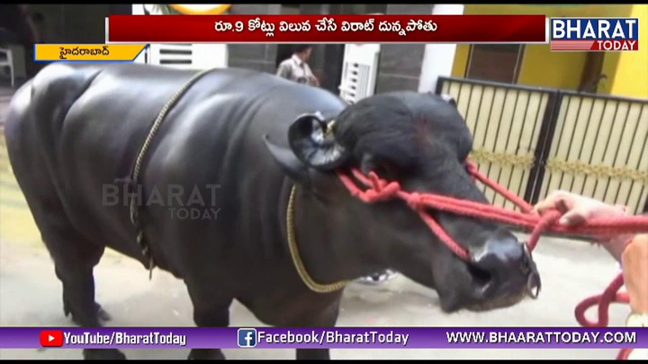 Sadar Festival Begins | 9 Crore Worth Buffalo Arrives Hyderabad For  Celebrations | Bharat Today