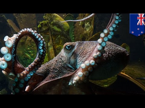 Inky the Octopus escapes from New Zealand aquarium into the Pacific Ocean - TomoNews