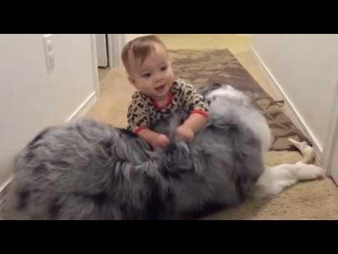 Blue Merle Australian Shepherd Puppy Baby Crawl