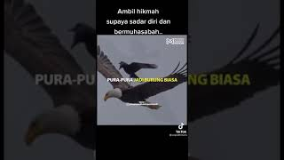 Download story wa burung gagak dengan elang