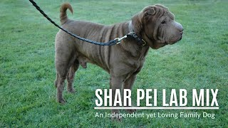 The Shar Pei Lab Mix, an Independent yet Loving Family Dog