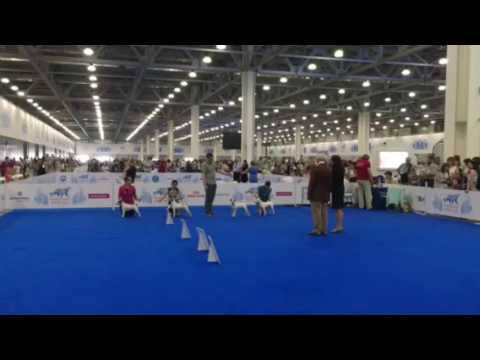 WORLD DOG SHOW 2016 Parson russell terrier