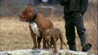 Pesquisa americana coloca os pit bulls na lista de cães amigáveis