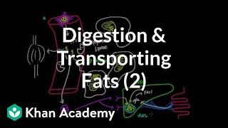 Digestion, Mobilization, and Transport of Fats - Part II
