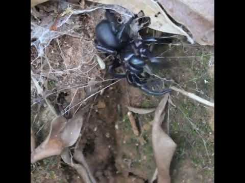 Toowoomba or Darling Downs funnel web (Hadronyche infensa)