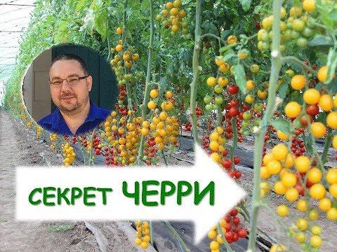 Как вырастить томаты черри? Секреты возделывания. | вырастить | теплицах | помидоры | томаты | черри | как | в