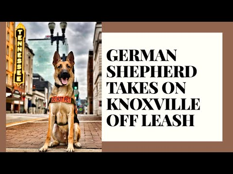 knoxville-dog-trainers---11-month-old-german-shepherd-goes-off-leash!
