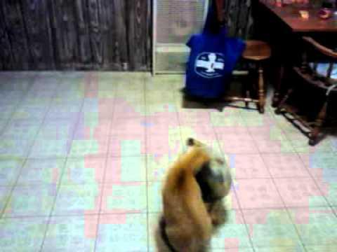 pug dog and manx cat wrestle