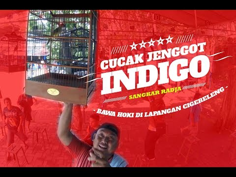 SUARA BURUNG : INDIGO - Cucak Jenggot Di SANGKAR RADJA Gacor Mantap