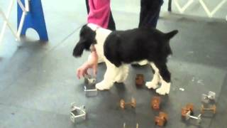 Aj English Springer Spaniel12 Weeks Old Learning Agility + O