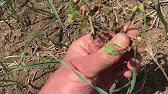 Продам семена чеснока первой репродукции (однозубка, воздушка). Продам посевной материал чеснока любаша, 100 кг. Морозо и.