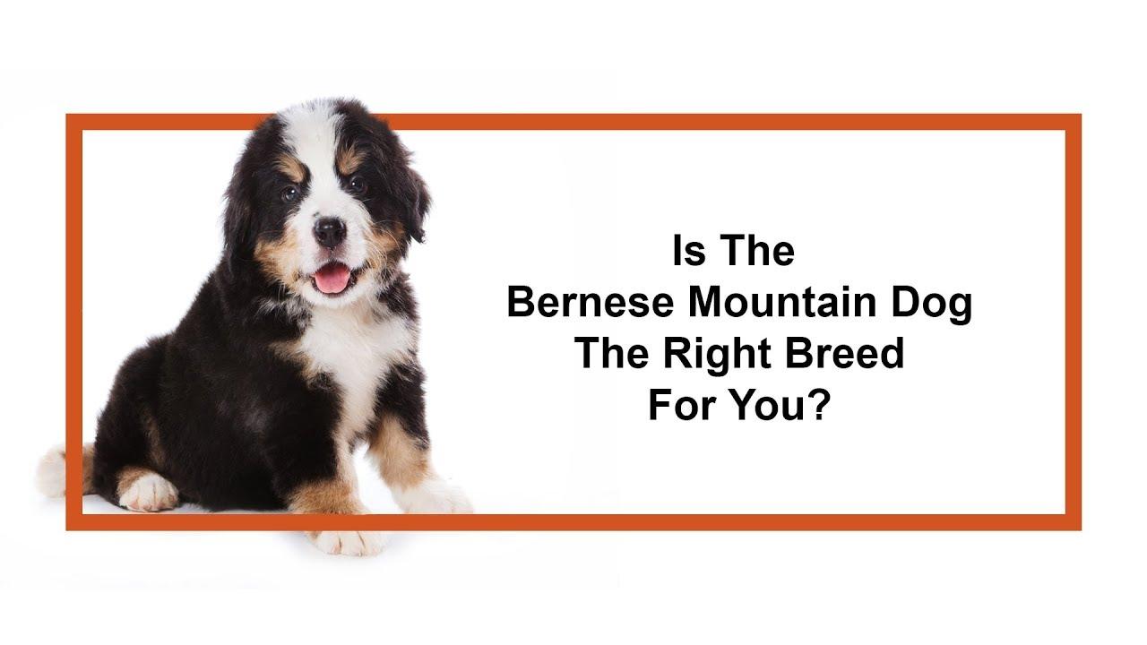 Bernese Mountain Dog Breed Info Puppies For Sale San Antonio