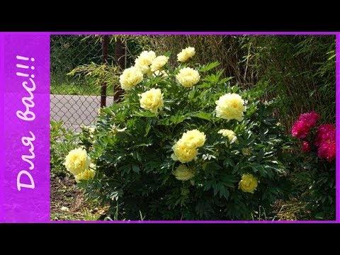 В гостях у тезки!))) - 3. Цветы на даче - пионы в саду. Пионы цветение.  Идеи для сада.