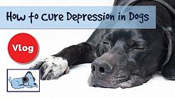 Wie Depression bei Hunden zu heilen! PROBEN und Beratung Depression Hund!