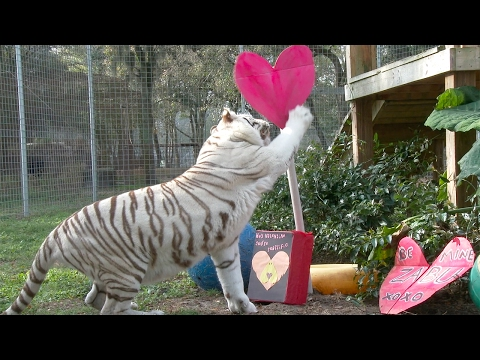 Valentine's Day At Big Cat Rescue!!
