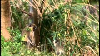 Le vervet - le singe vert - La Barbade