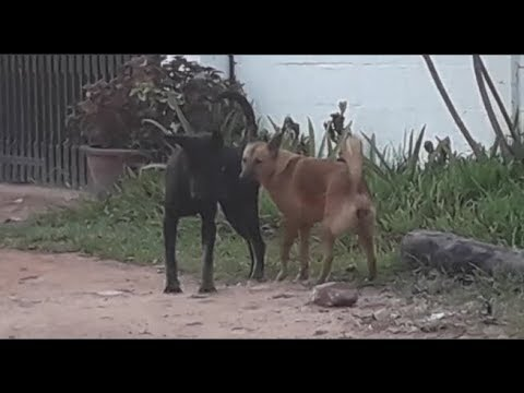 Rural Dog Meet Each Other  on  Village Path ,Black and Red Dog