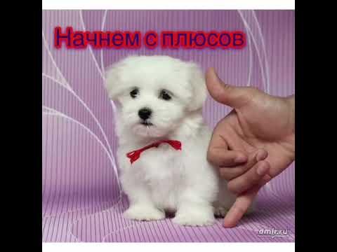 Маленькие собачки мальтийская болонка ВСЕМ ЗНАТЬ‼️🐶👀